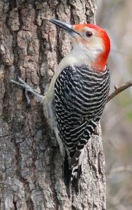 Red-bellied_Woodpecker-27527
